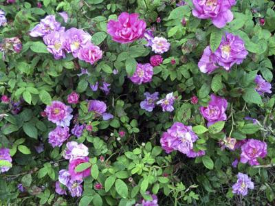 Tips for pruning roses include removing mulch and cut on a slant