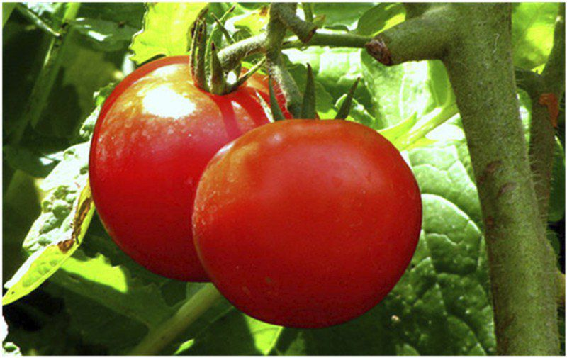 It is now the season to plant tomatoes