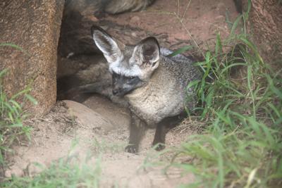 Bat-ear foxes