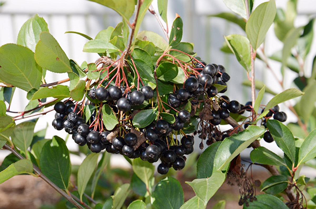 Planting trees and shrubs for burst of fall color | Local Columns ...