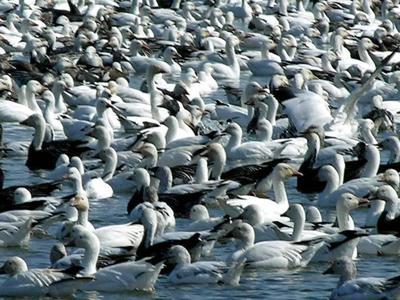 Windham: Snow goose season set to begin in Nebraska