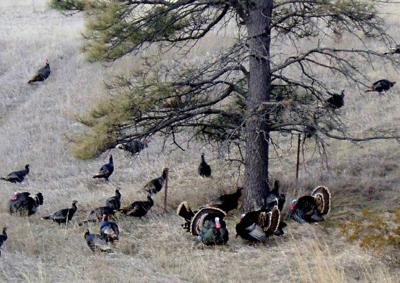 Windham: Take on the fall turkey hunting challenge