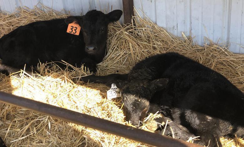 Homestead Farms - Triplet bull calves