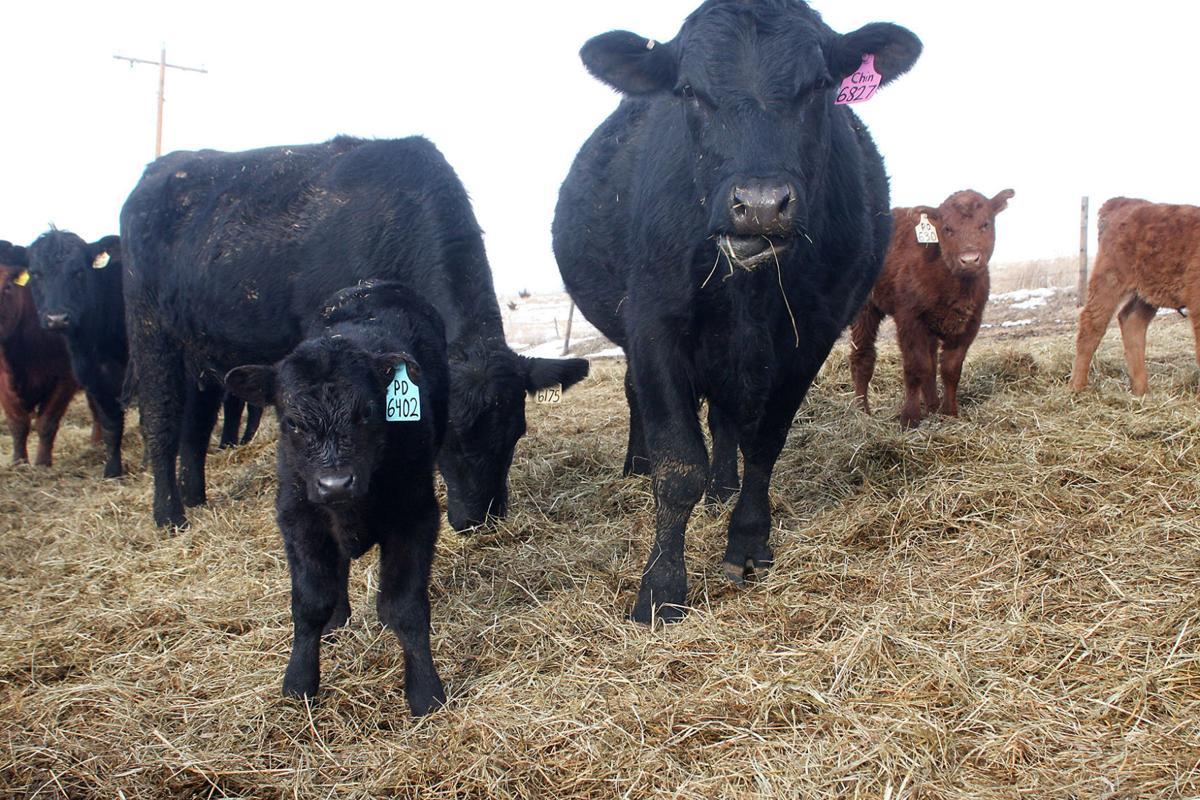 It's calving time in Nebraska