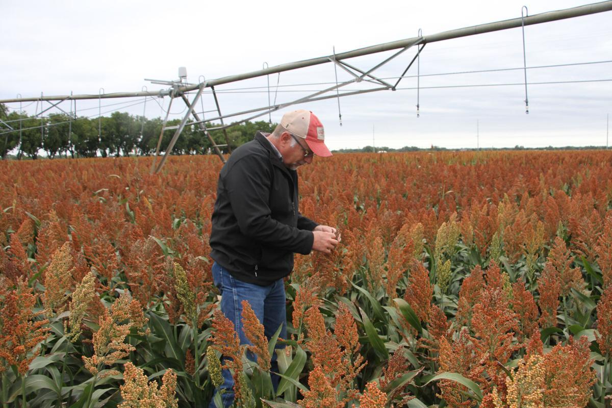 Is sorghum Nebraska's next big alternative crop?