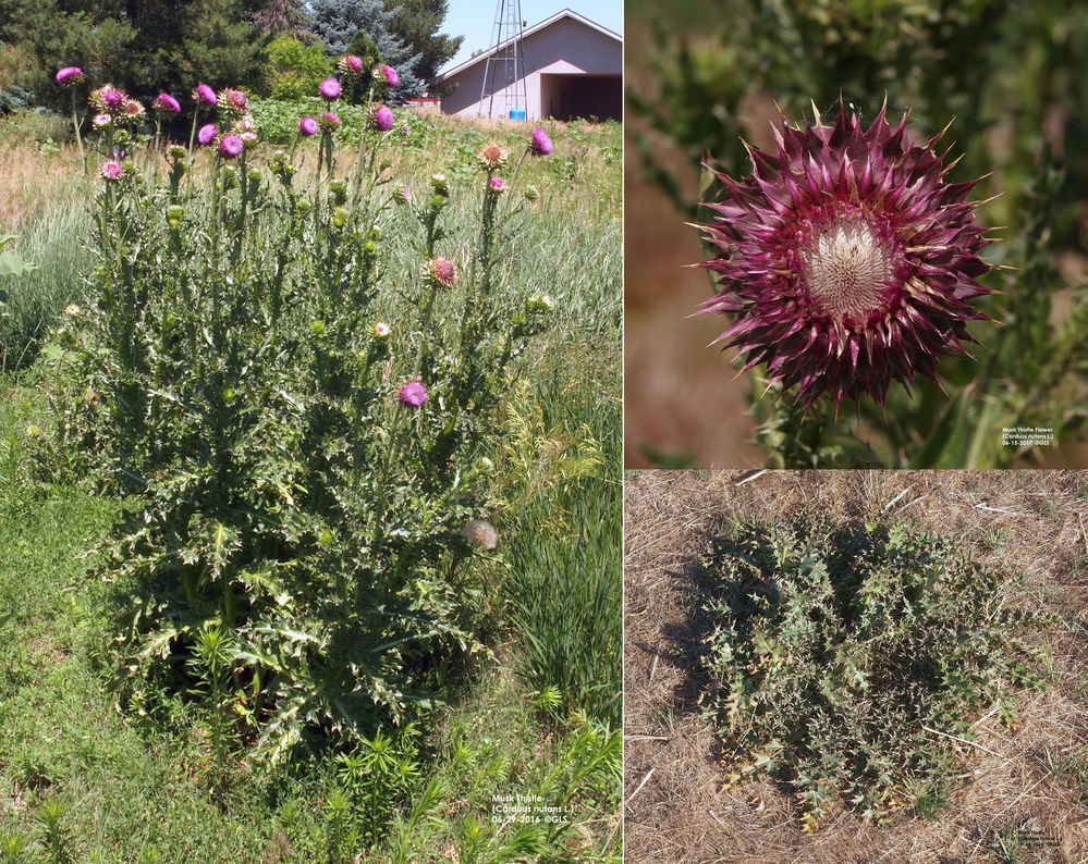 Scotts Bluff County Weed Control faces an increase in noxious weeds