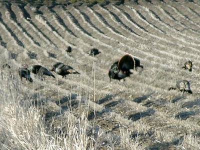 Proven tactics in deploying turkey decoys