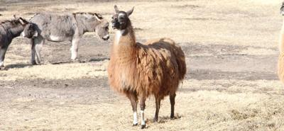 Focus: Elk, Sicilian donkeys and bison, oh my!