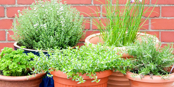 Jacobson: How to harvest and store your herbs