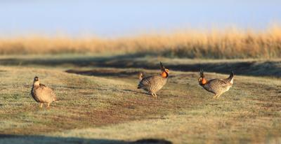 Prairie chicken ritual is a must see