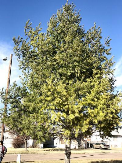 White Pine is North Platte Tree Board tree of the season