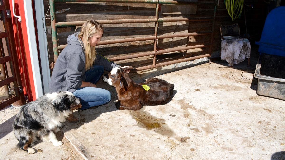 Calving runs in this family: Malines 'really lucky' with mild weather