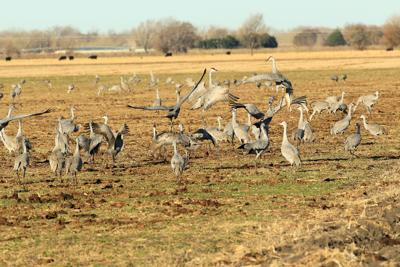 Outdoors: Where to see the sandhill cranes
