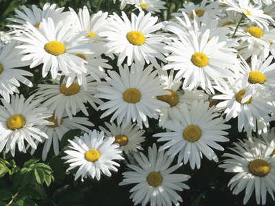 herbal healer what is the daisy?  healthy living  nwitimes, Beautiful flower