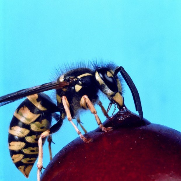 Yellow jacket Insect with Stinger