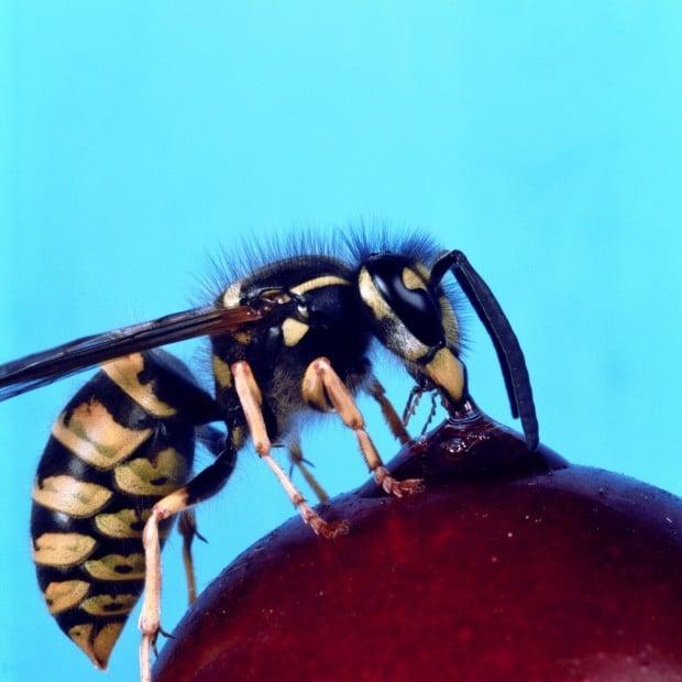 Sting operation: Wasps...