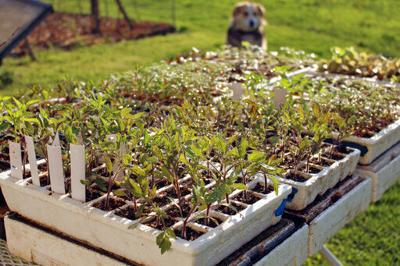 Give your flower and veggie seedlings some tough love