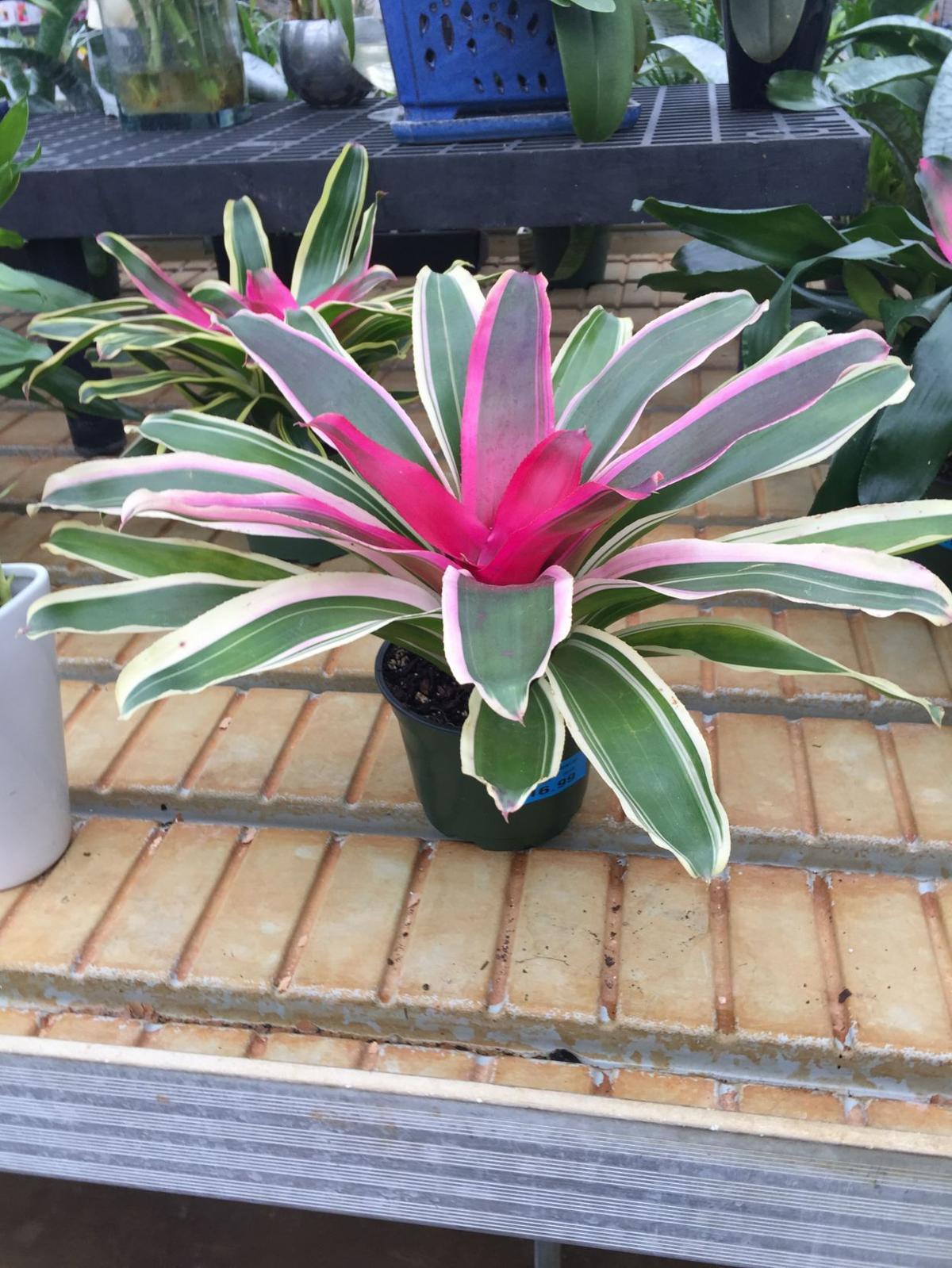 Bromeliads bring tropical feel to NWI