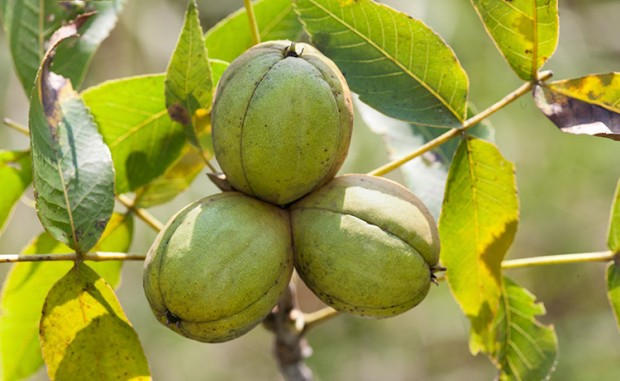 Herbal Healer What Is Shagbark Hickory Get Healthy