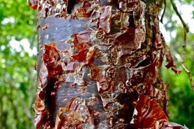Herbal Healer: What is gumbo limbo?