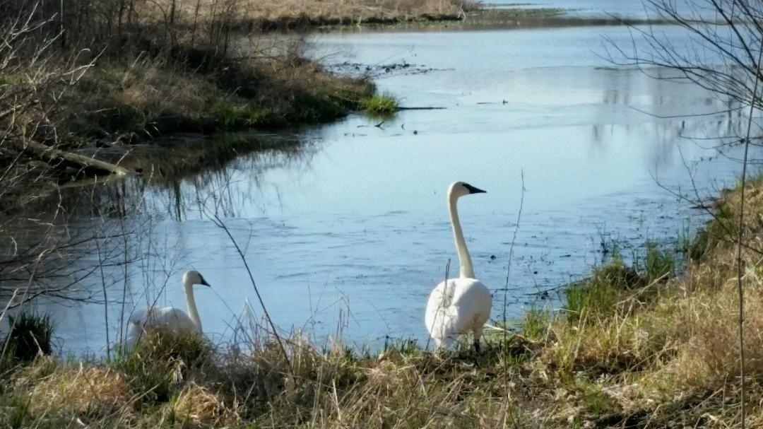 Taltree's trumpeter swans waddle to spring, summer home