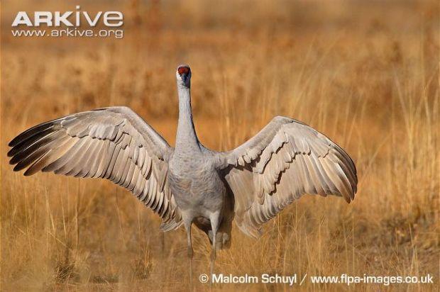 Greater Sandhill Crane Photo by Malcolm Schuyl.jpg