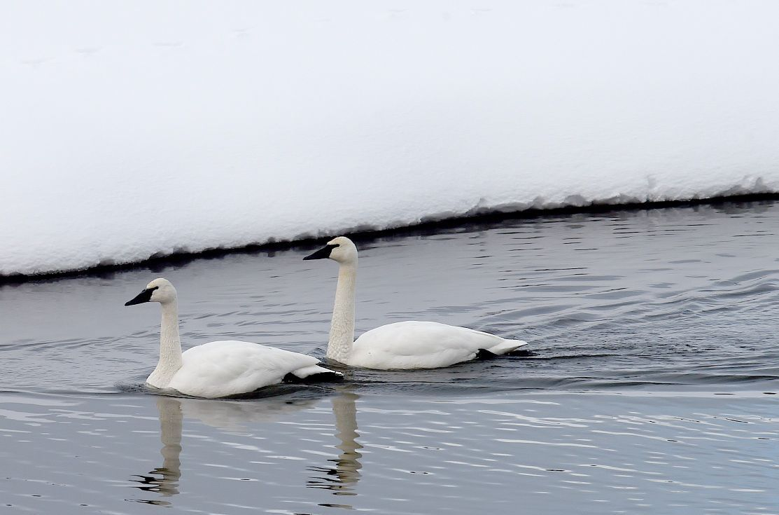 A pair of trumpeter swans