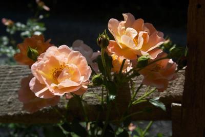 Gardening Easy Grow Roses