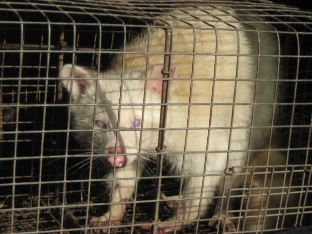 Rare albino raccoon trapped in Valparaiso