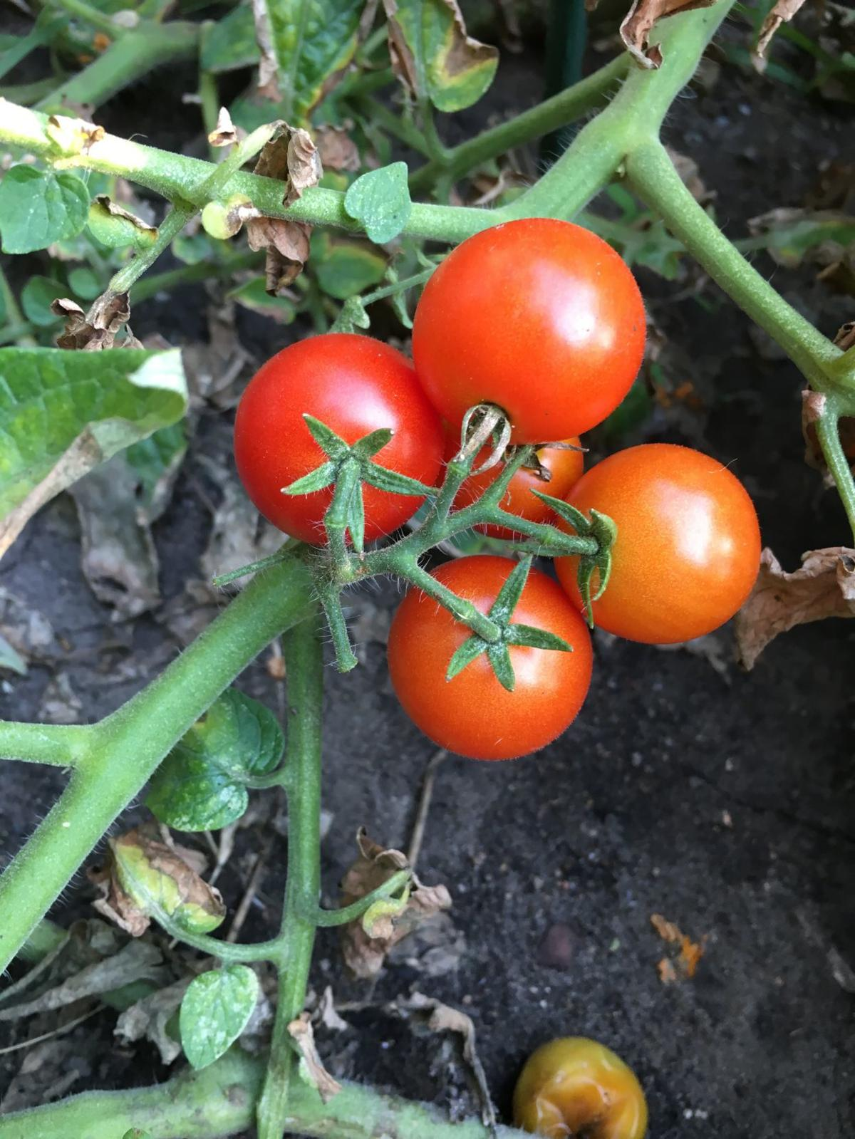 Tomatoes for salsa or pizzza