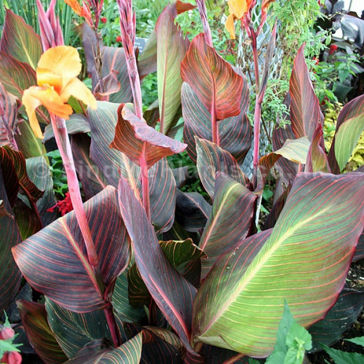 Herbal Healer: What is canna? | Healthy Living | nwitimes com