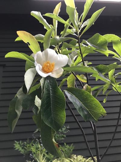 Gardening Franklinia