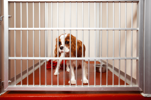 Pet Store Puppies Are Spreading An Antibiotic-resistant Infection, CDC Says