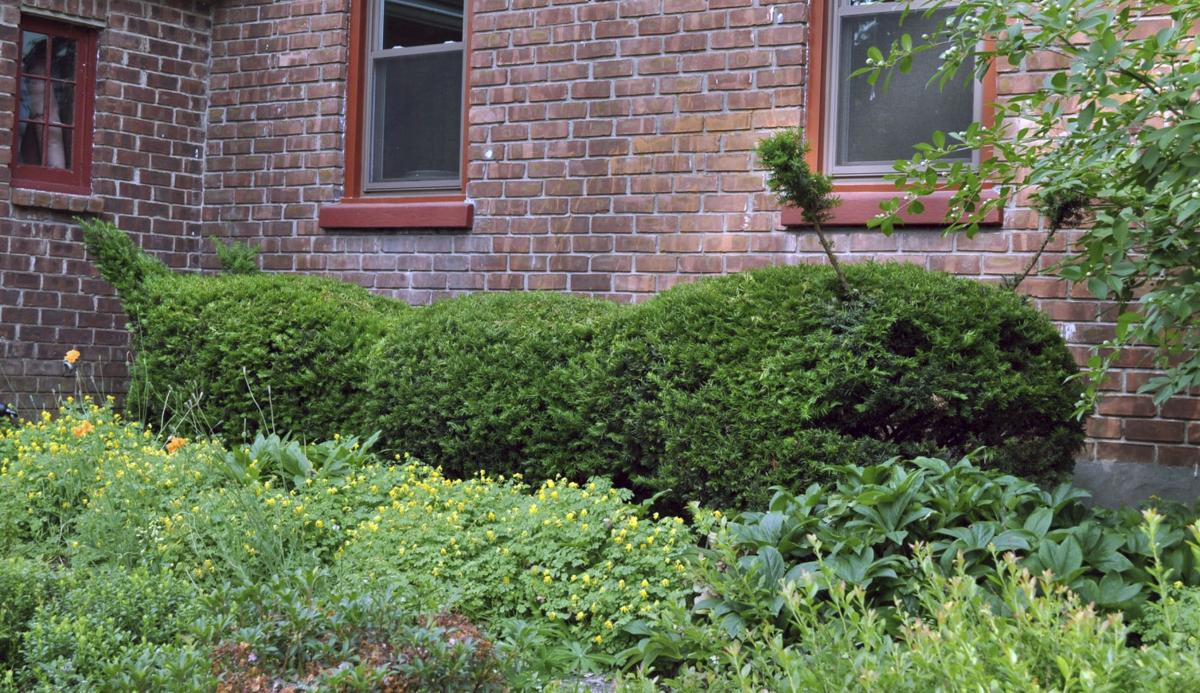 Topiary tips: When you want shrubs to