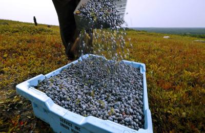 Food and Farm Maine Blueberries