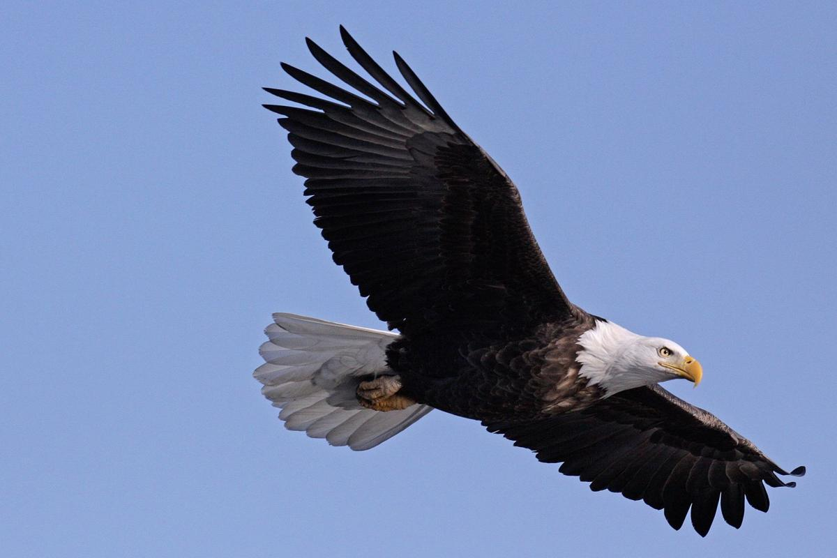Eagle Watch to take place at Four Rivers Environmental Education Center