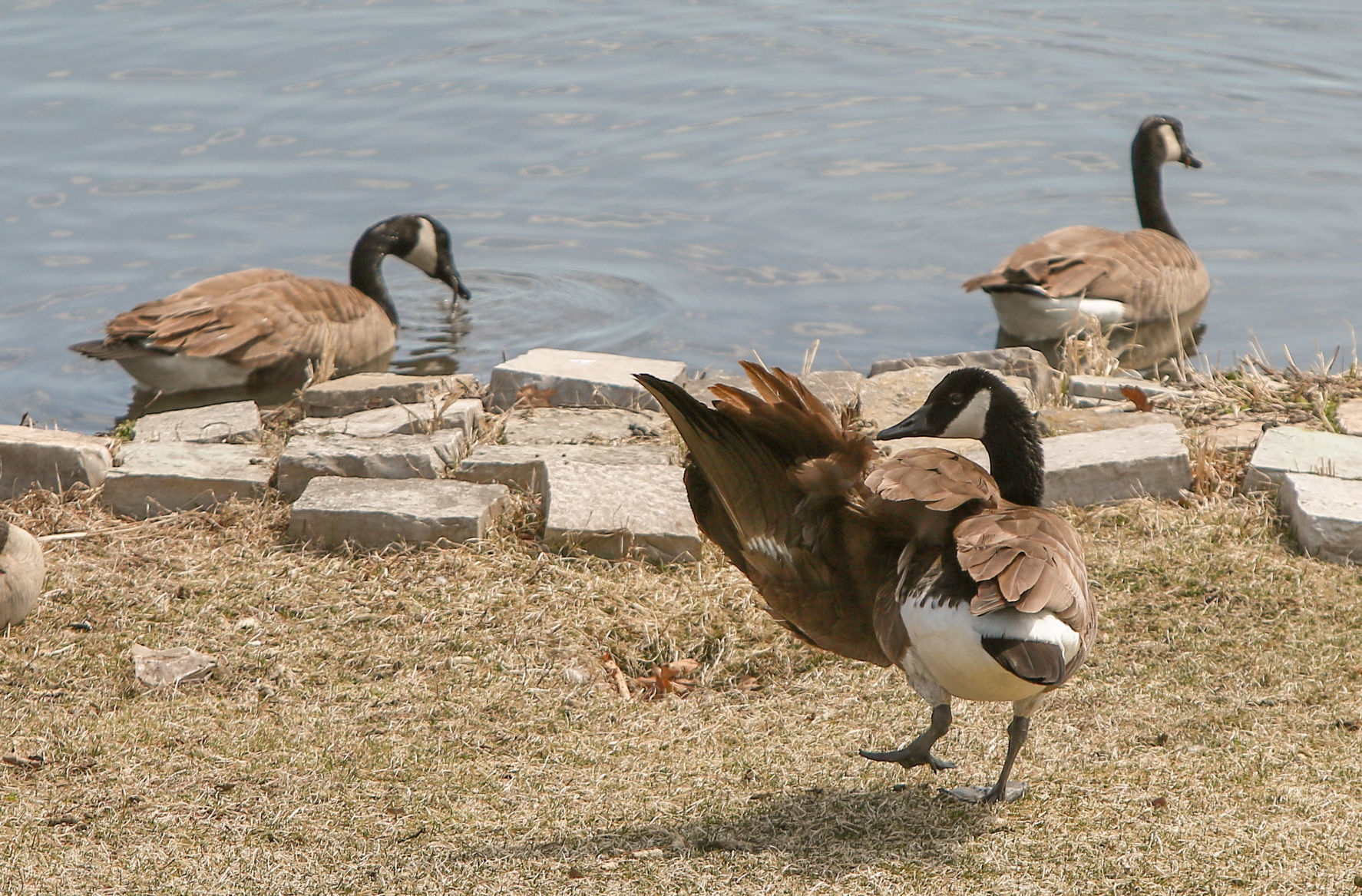 Story of Me, Injured Goose and Her Lover, Rescue Canada Goose