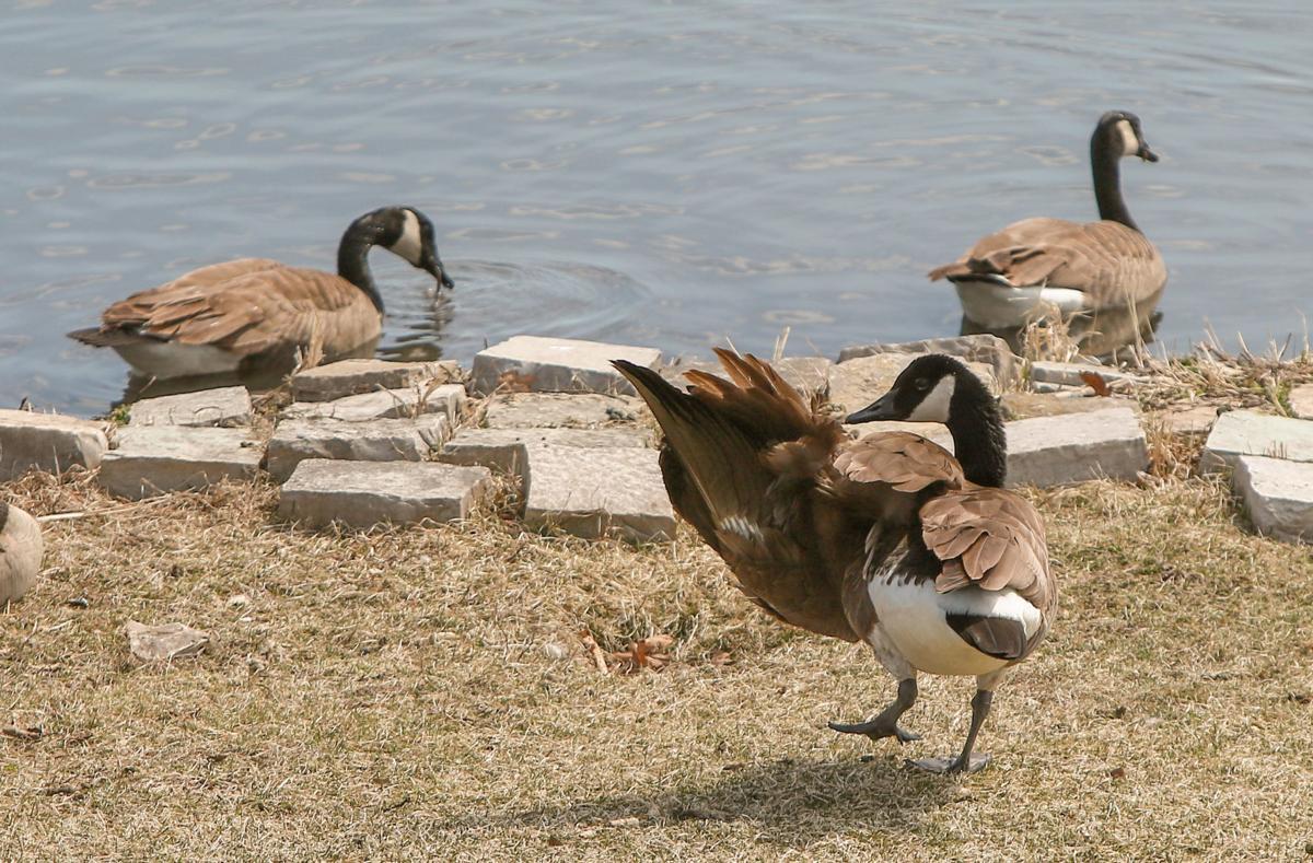 Goose with broken wing