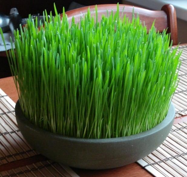 Beau Wheatgrass
