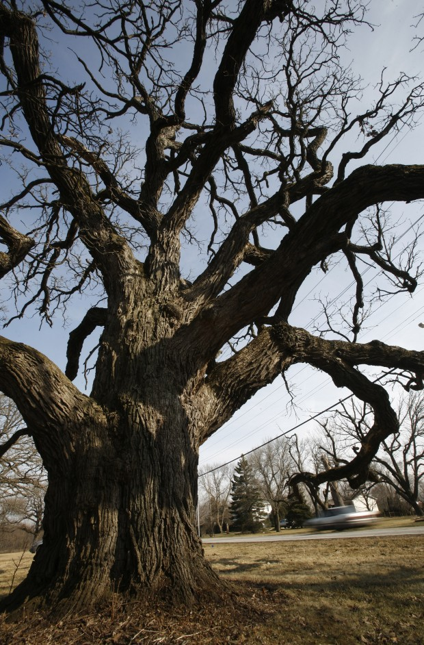 Clear Lake Schools >> Oldest tree in Lake County will be removed : Merrillville Community News