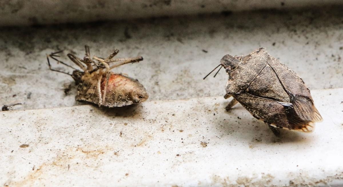 This bug is raising a real stink in the Region. Tips for dealing with stink bugs in your house   Lake County News