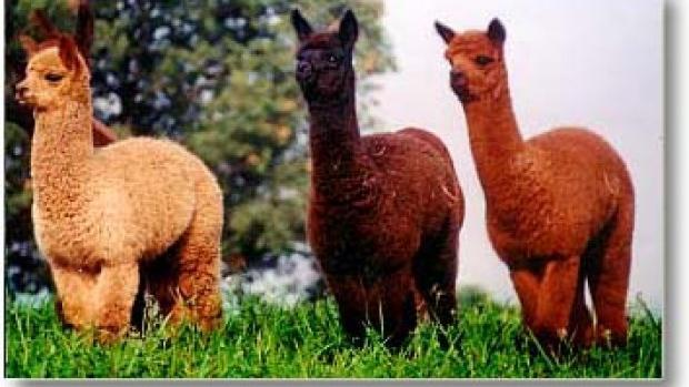 97f25c7e3e9c8 OFFBEAT: Alpaca farm tour provides look at unusual animals prized for soft  fiber fur