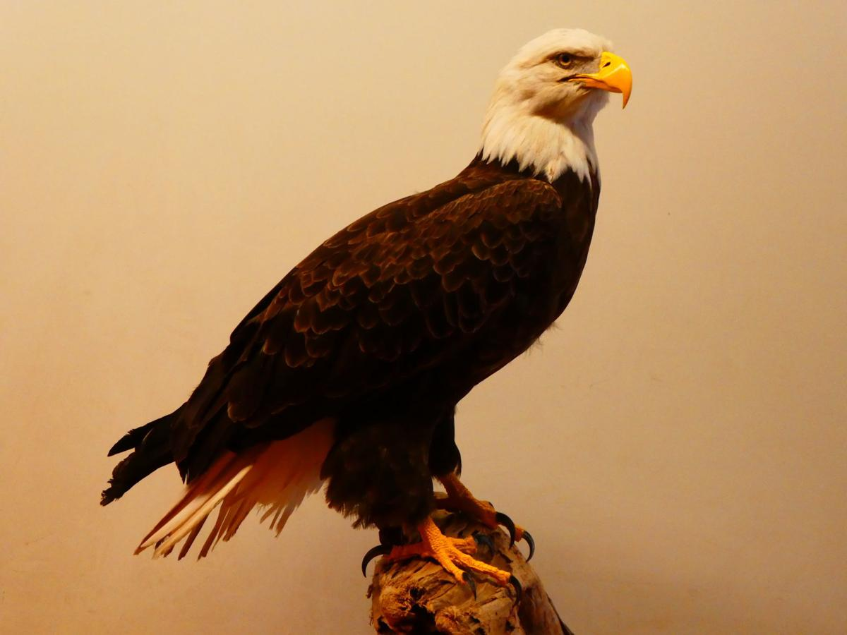 American Natural Resources stuffs bald eagle for first time in 65 years