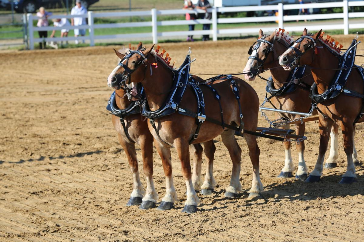 Draft horse competitions show off majesty, agility of big equines