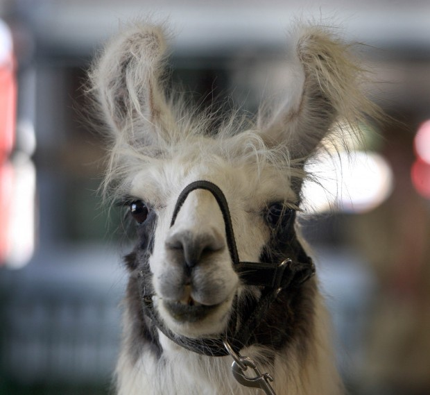 Llama competition brings out best, says 4Hers at Porter Co. Fair