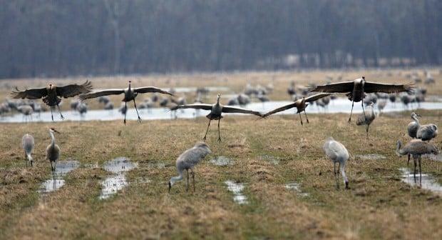 Sandhill cranes return for spring migration