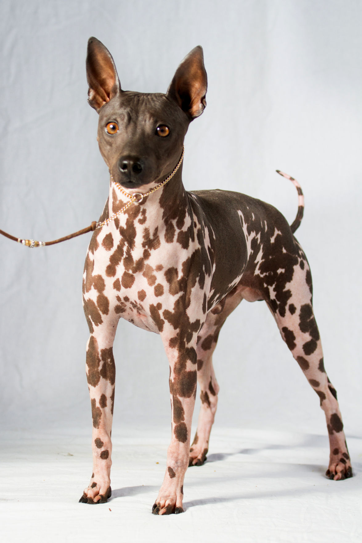 2 new dog breeds join American Kennel Clubs roster