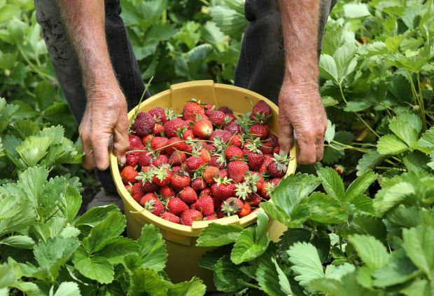 The time is ripe for picking strawberries