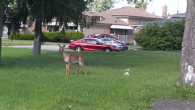 Cal City deer