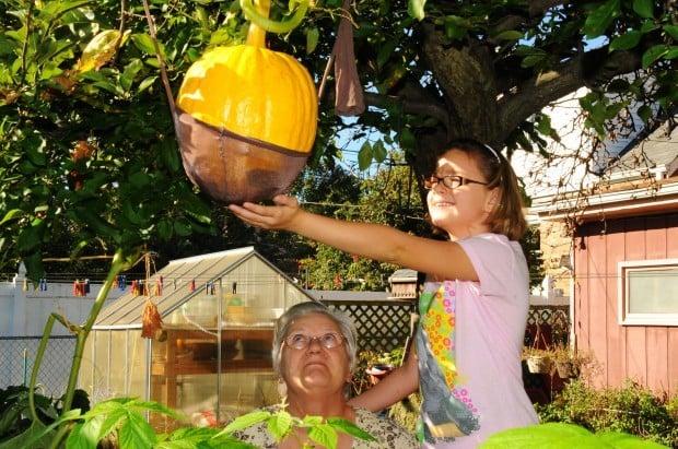 Wild vines cause pumpkin to grow in apple tree